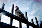 Title : pigeon sur la grille, place de la chapelle, Fevrier 2005. Camera : Photak Traveler - FUJI Superia 100 Max. Print Size : 9000x6000 pixels (90x60 cm.) Author : Pascal Labrouill?re  Views: 1444 Date: 08.02.05 1200x800 (599.1 KB)